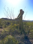 The headless horseman cactus